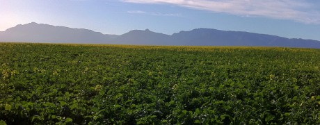 Canola Fields outside Swellendam